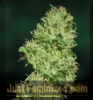 Barneys Farm Utopia Haze Female 10 Cannabis Seeds